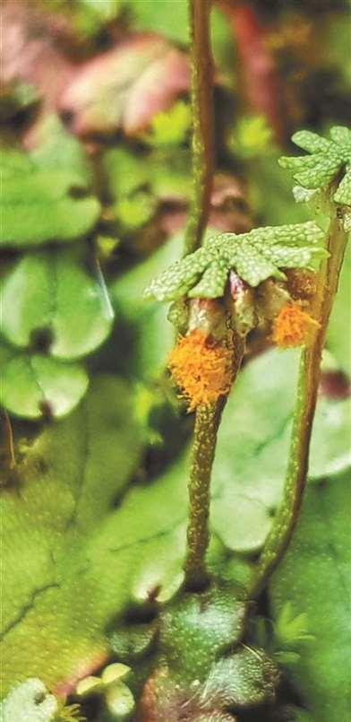 藓类植物浅刻地钱,迷人又可爱