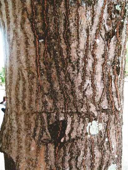 长相近似油桐树