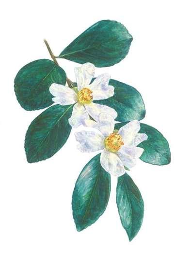 恒春山茶 含苞十月方开花