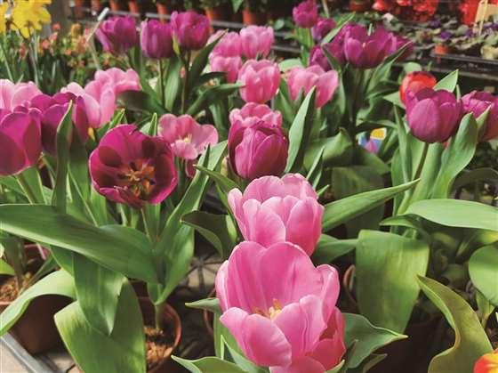 荷兰国花──郁金香
